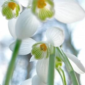 März 15 - Ulrke Zeiger - Schneeglückchen