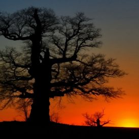 Sonnenuntergang hinter Eiche